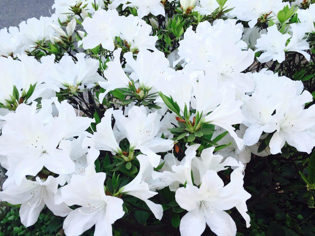 ツツジの花が咲いた☆ジュエリーTAKA